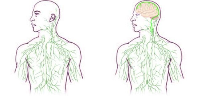 Lymphatic Vessels in the Brain