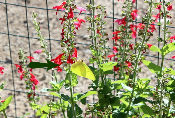 Salvia plant with butterfly