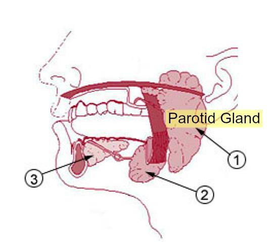 Paratoid Gland