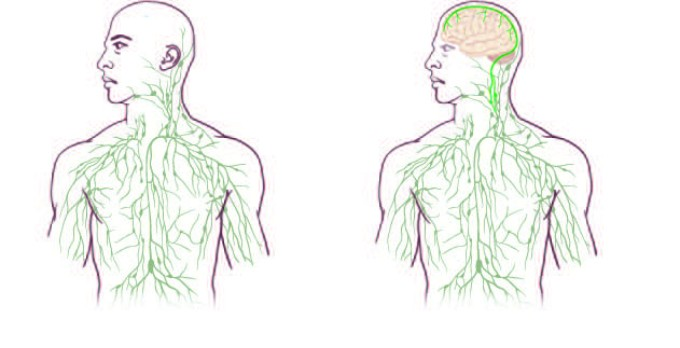 Lymphatic Vessels in the Brain